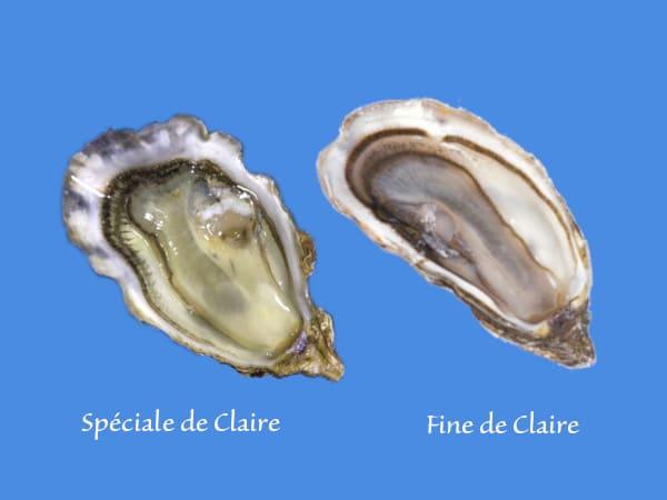 Les huitres fine de claire et spéciale de claire Marennes Oléron